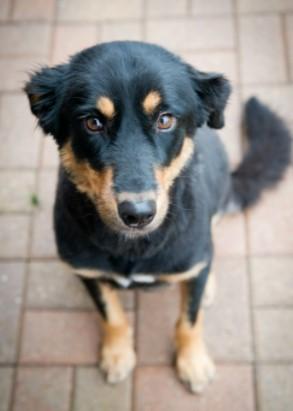 Rottweiler Pitbull German Shepherd Mix