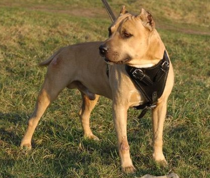 Agitation Protection Leather Dog Harness for Pitbull