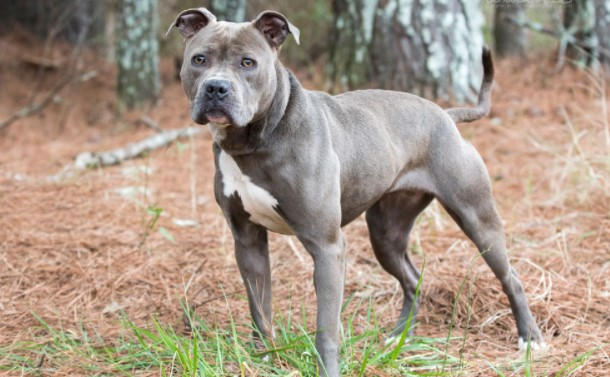 Important Facts About Blue Nose American Pitbull Terrier You Should Know