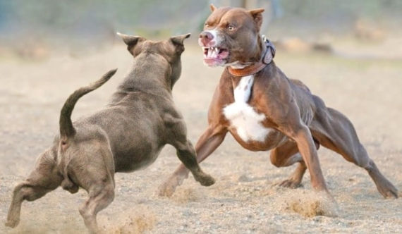 How to Make My Pitbull Aggressive Towards Other Dogs
