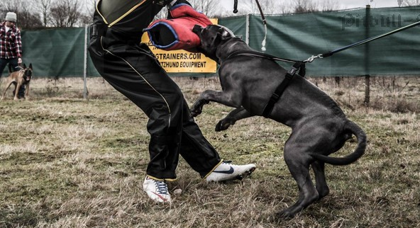 How to Train a Pitbull to Attack