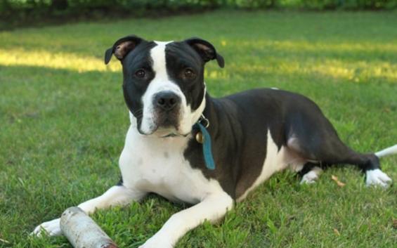 Pitbull Terrier Mix Black and White