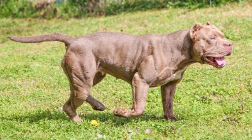 How to Build Muscle on a Bully Pitbull