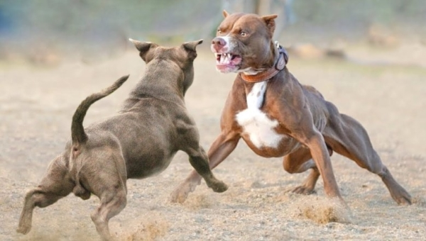 American Bully vs Pitbull Fight Who Would Win