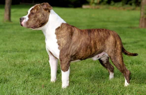 Difference Between Pitbull and American Staffordshire Terrier