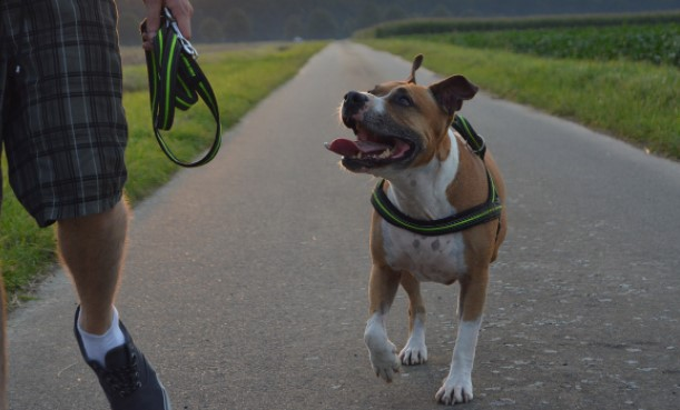 Can a Pitbull Be a Service Dog?