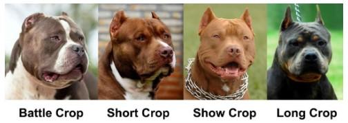 Choosing an Ear Crop Style