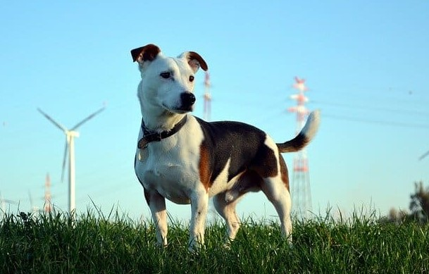 How Big Does a Pitbull Jack Russell Mix Get