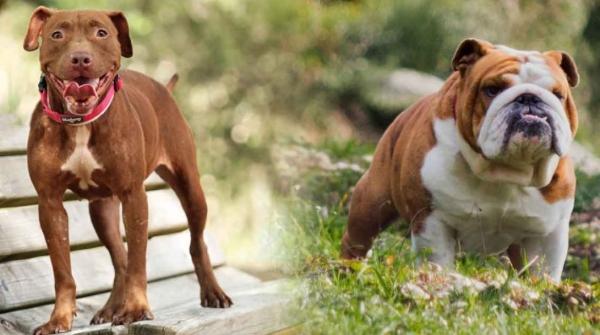 Pitbull English Bulldog Mix Puppy