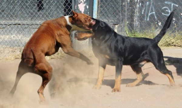 Pitbull vs Rottweiler Fight Who Would Win
