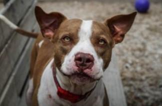 adoptable dogs in Villalobos Rescue Center bobby brown